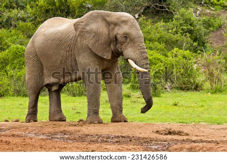 Large male elephant standing and resting at a water hole