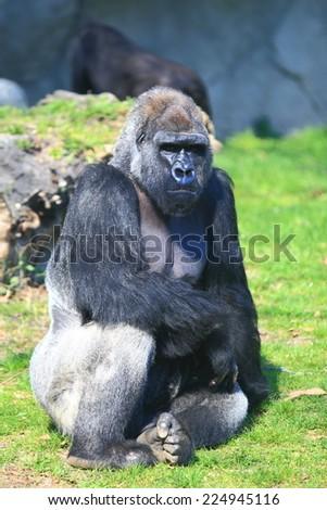 Large male gorilla resting in the sun - stock photo