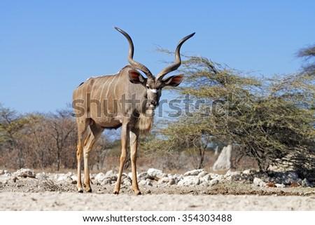 Large male greater kudu (Tragelaphus strepsiceros) at a waterhole in Onguma Game Reserve, Namibia
