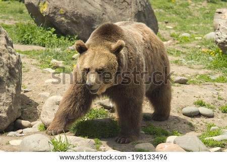 Large male grizzly bear in Montana.