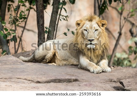 Large male lion at the zoo. - stock photo