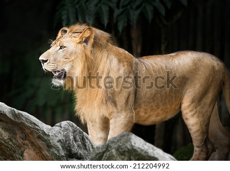 Large male lion in the forest - stock photo