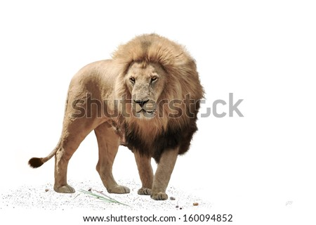 Large male Lion, isolated on a White Background - stock photo