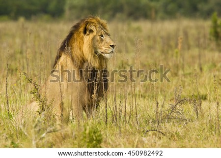 Large male lion sitting and watching some potential prey in the distance - stock photo