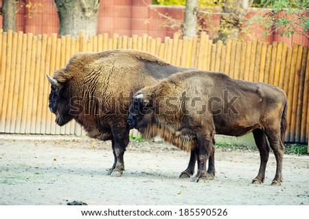 Large male of bison