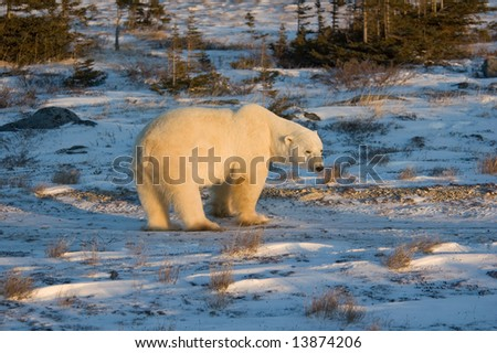 Large Male Polar Bear near Churchill - stock photo