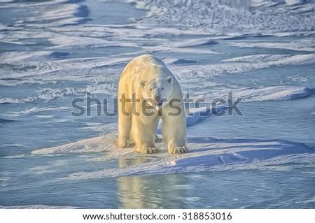 Large male polar bear on Hudsons Bay ice,photo art - stock photo