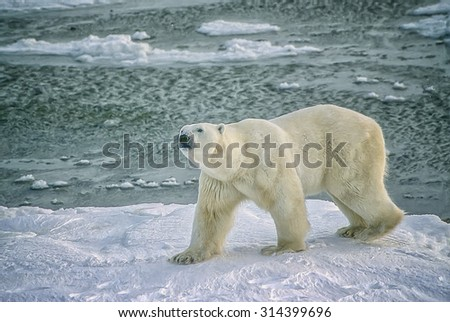 Large male polar bear on shored of Hudson Bay in Canadian Arctic,digital oil painting - stock photo