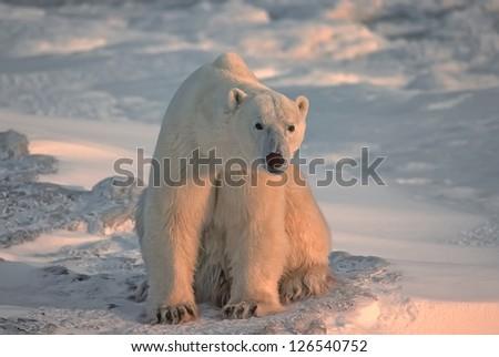 Large male polar bear sitting on Arctic tundra - stock photo