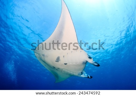 Large Manta Ray swimming in clear blue water - stock photo