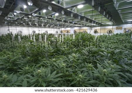 Large marijuana grow operation, commercial Cannabis business - stock photo