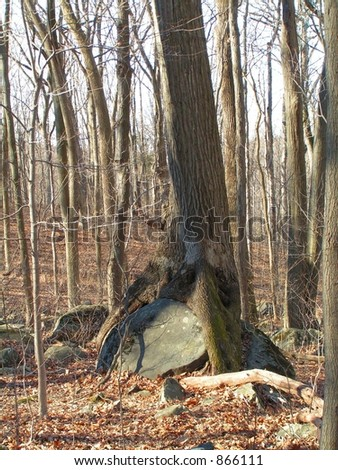 LARGE MATURE TREE THAT HAS GROWN AROUND A MASSIVE BOULDER