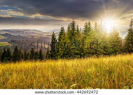 large meadow with mountain herbs and a conifer forest in front of mountainous massif away in the background in evening light - stock photo