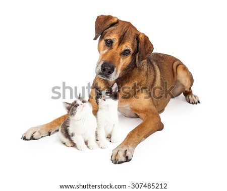 Large mixed breed dog laying down with two cute little kittens that are looking up at him - stock photo