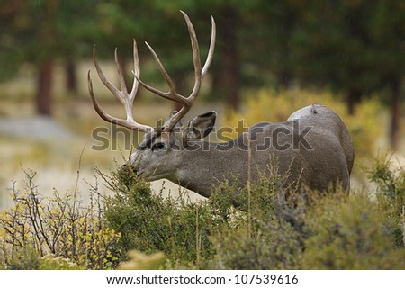 Large Mule Deer Buck feeding on autumn vegetation - stock photo