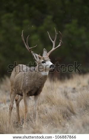 Large Mule Deer Buck in light snowfall, against a backdrop of Ponderosa Pines - stock photo