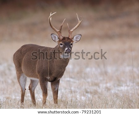 Large muscular Whitetail Deer Buck with rut-swollen neck - stock photo