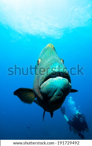 Large Napoleon Fish and Diver - stock photo