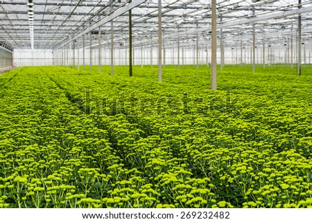 Large number of  chrysanthemum plants with lots of buds and light green flowers in a Dutch greenhouse horticulture company specialized in cut flowers. - stock photo