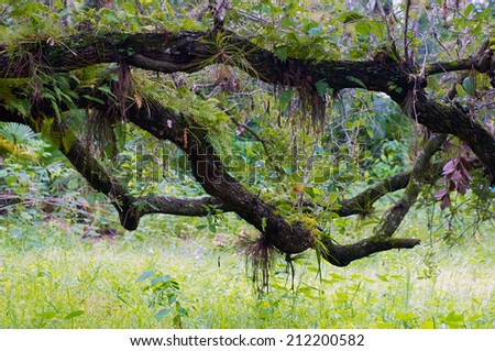 Large oak branches stretch across the scene of a subtropical forest. - stock photo
