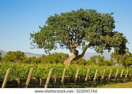 Large Oak Tree In Vineyard - stock photo