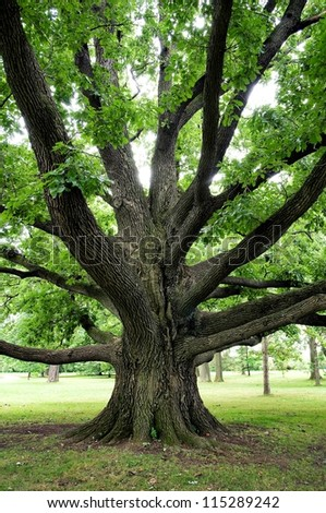 Large oak tree with outreaching branches - stock photo