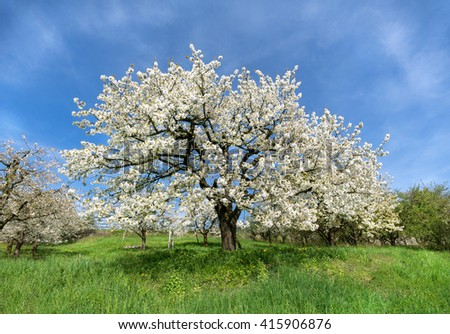 Large, old, lush blooming cherry tree in a meadow  - stock photo
