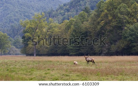 Large Open Field with Elk, Male and Female