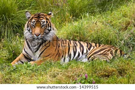 Large Orange Striped Sumatran Tiger, Pantherea Tigris Sumatrae, Lying in the Grass Looking - stock photo
