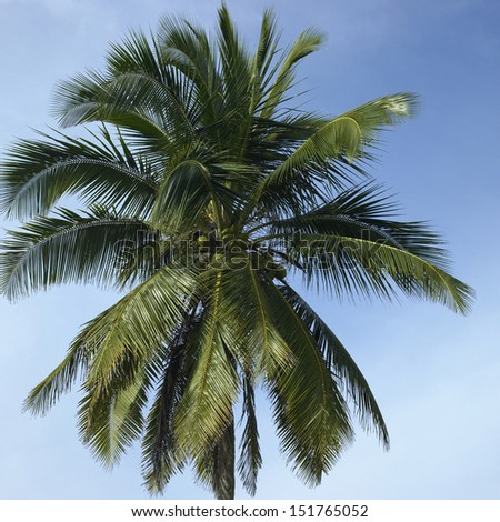 Large palm tree in the blue sky - stock photo