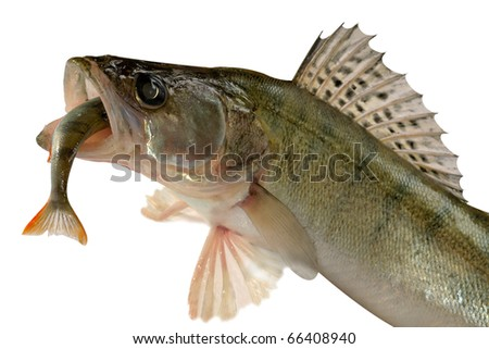 Large pike perch isolated on a white background.