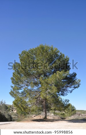 Large Pine Tree in the region of Carricola a small town in the province of Valencia Spain Europe