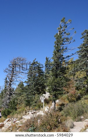 Large pine trees, bent and twisted by the prevailing winds, on top of Sandia Peak in New Mexico - stock photo