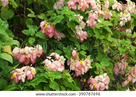 Large pink begonias on bush surrounded by green leaves - stock photo