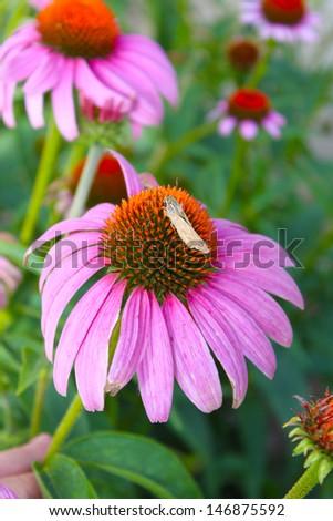 Large pink coneflowers  - stock photo