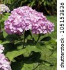 Large pink hydrangea blossom on stem with green leaves. - stock photo