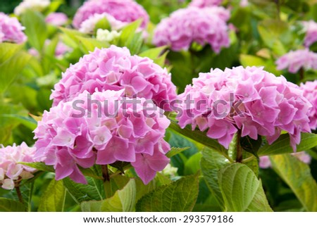 large pink hydrangea flowers that bloom in the sun - stock photo