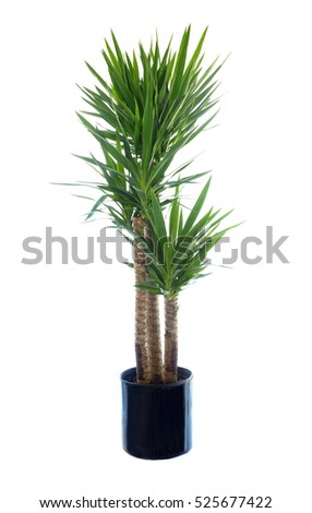 Large Potted Thorn Less Yucca Isolated on White