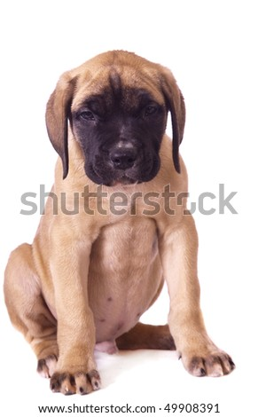 Large puppy breed. He is an English Mastiff - stock photo