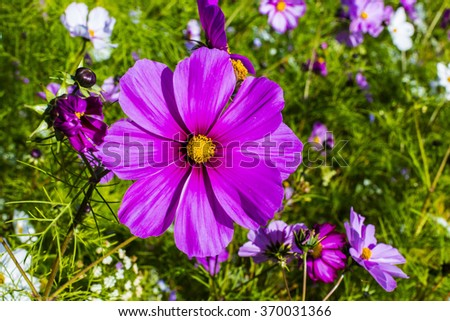 Large purple cosmos flower in a meadow. - stock photo