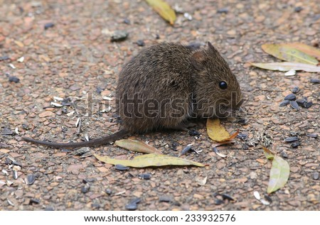 Large rat eating seeds spread on concrete patio for wild birds and squirrels.   Rat seems impervious to humans and is feeding in broad daylight. - stock photo