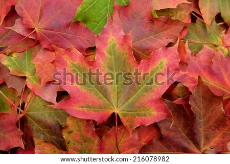 Large red and green maple leaf on an abstract background of colorful fall foliage - stock photo