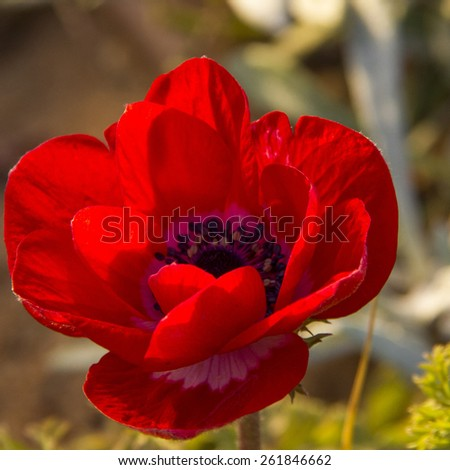 Large red anemone flower, closeup  - stock photo