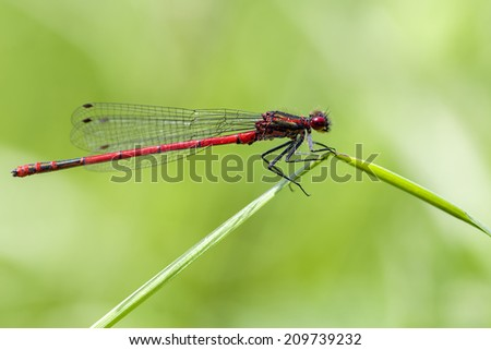 Large red damselfly - stock photo
