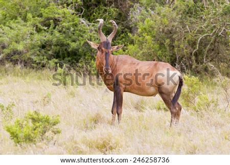Large Red Hartebeest standing and looking alert in long lush green grass - stock photo