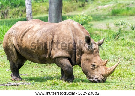 Large rhinoceros surround by lush green grass