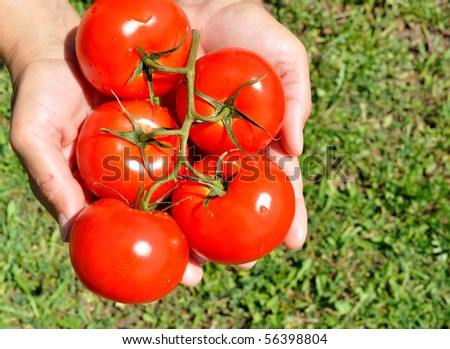 Large ripe tomatoes in his hand - stock photo