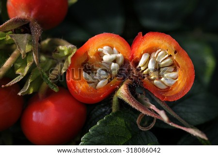 Large Rose hip showing seeds.