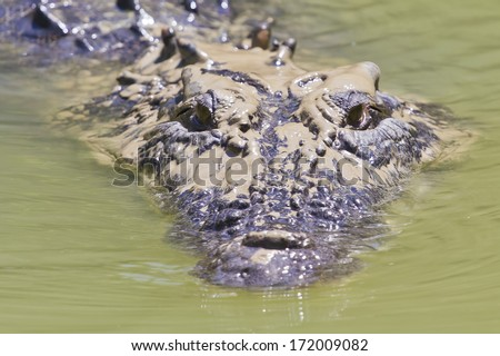Large saltwater crocodile with mud on its head floating on a river in Kakadu National Park, Australia. - stock photo