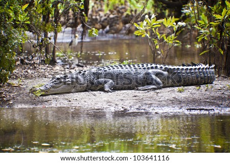 Large saltwater crocodile, Yellow water billabong, Kakadu National Park, Northern Territory, Australia - stock photo